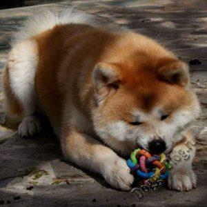 Акита-ину, дрессировка собаки в домашних условиях