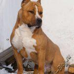 Американский стаффордширский терьер, питание и уход за собакой