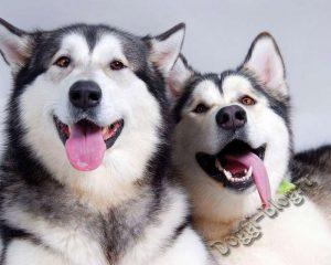 Хаски, питание и уход за собакой