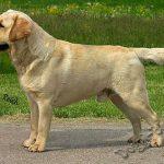 Лабрадор-ретривер, стандарт породы