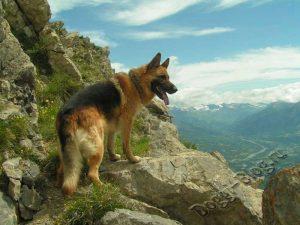 Немецкая овчарка в горах