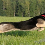 Восточно-европейская овчарка, дрессировка собаки в домашних условиях