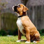 Дрессировка щенка, обучение команде сидеть