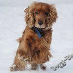 Английский кокер-спаниель бежт по снегу