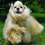 Американский кокер-спаниель, питание и уход за собакой