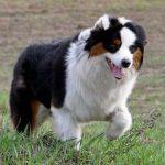 Австралийская овчарка, история породы