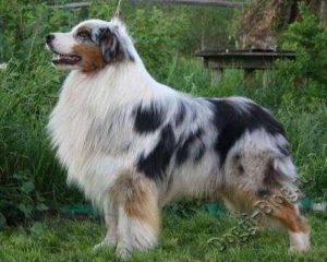 Австралийская овчарка, стандарт породы