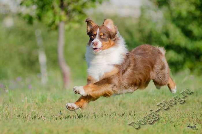 Австралийская овчарка, питание и уход за собакой