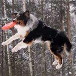 Австралийская овчарка, дрессировка собаки в домашних условиях