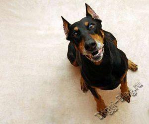 Доберман, питание и уход за собакой