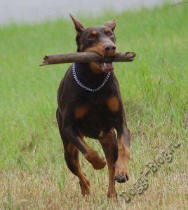 Доберман, дрессировка собаки в домашних условиях