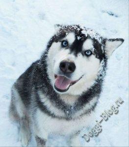 Хаски, дрессировка собаки в домашних условиях
