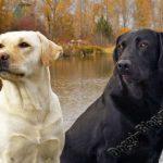 Лабрадор-ретривер, питание и уход за собакой