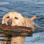 Лабрадор-ретривер, дрессировка собаки в домашних условиях