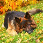 Немецкая овчарка, питание и уход за собакой