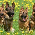 Немецкая овчарка, фото и особенности