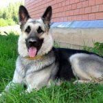 Восточно-европейская овчарка, питание и уход за собакой