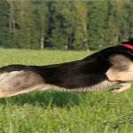 Восточно-европейская овчарка 5