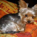 Йоркширский терьер, питание и уход за собакой