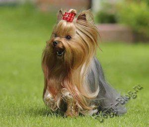 Йоркширский терьер, дрессировка собаки в домашних условиях
