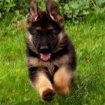 Дрессировка щенка, обучение команде ко мне