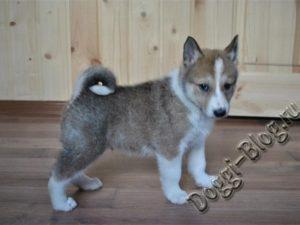 Маленький щенок западно-сибирской лайки